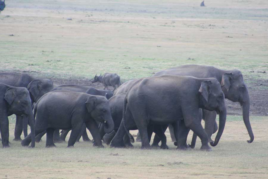 Five things you didn't know about Sri Lankan Elephants